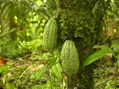 Stock Video Footage of Cocoa pods (Theobroma cacao)