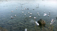 Stock Video Footage of Seagull flying over Lake Ammer, Herrsching, Bavaria, Germany