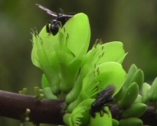 Meliponine bees visiting a leguminous flower  Stock Footage