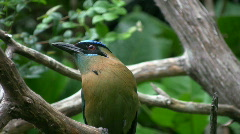 Beautiful bird on branch. Blue crowned mot mot... Stock Footage