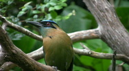 Stock Video Footage of Beautiful bird on branch. Blue crowned mot mot...
