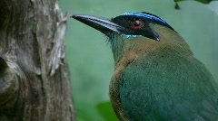 Beautiful 'blue crowned mot mot bird'. Closeup. Stock Footage