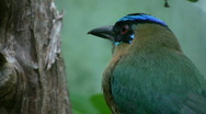 Stock Video Footage of Beautiful 'blue crowned mot mot bird'. Closeup.