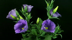 Time-lapse of blooming eustoma 1 (part B)  Stock Footage