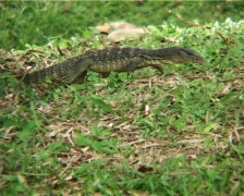 Giant Lizard At Park Stock Footage