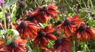 Stock Video Footage of Coneflower in Autumn