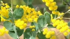 Wattle Australia Native Wildflower Wattles Flower Stock Footage