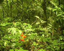 Heliconia plant flowering in the  rainforest Stock Footage