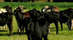 Herd of Cattle, Black Cows & Bulls, Angus, Brahman Livestock Stock Footage