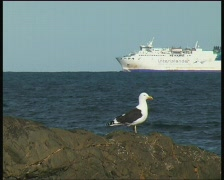 Seagull on rock with ship in background Stock Footage