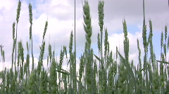 Barley field in summer 2  Stock Footage