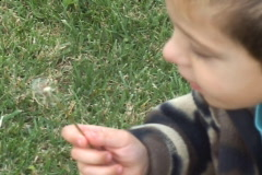 Boy and Dandelion close up Stock Footage