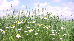 Daisy flowers and barley field in summer 1  Stock Footage