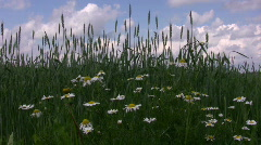 Daisy flowers and barley field in summer 2  - stock footage