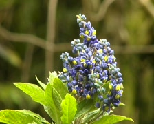 Monnina bush in flower in the Ecuadorian Andes Stock Footage