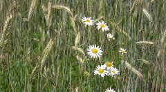 Daisy flowers and weat field in summer 2  Stock Footage