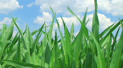 Stock Video Footage of Corn Against Sky
