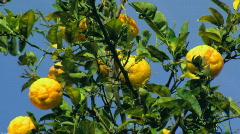 Wild Lemon Tree with Lemons Swaying in Breeze Stock Footage