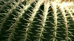 Echinocactus, grusonii, Cactus, Stock Footage