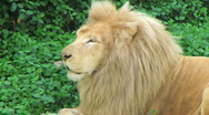 Stock Video Footage of White Lion Yawning