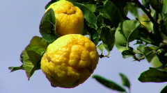 Lemons Growing on Wild Lemon Tree Stock Footage