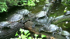 Turtles group lazy in pond Stock Footage