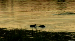 Waterbirds Feeding at Sunset on Bronze-colored Water Stock Footage