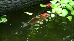 Koi fish, golden fish in pond Stock Footage