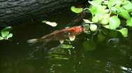 Stock Video Footage of Koi fish, golden fish in pond