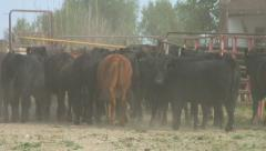 Herd of steers makes dusty exit from corrals Stock Footage