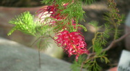 Grevillea Thelemanniana Stock Footage