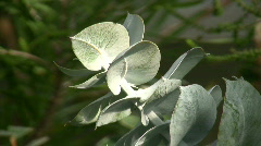 Eucalyptus Macrocarpa Stock Footage