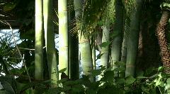 Tropical Bamboo puu, bambu Arkistovideo