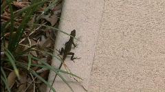Anole Lizard Stock Footage