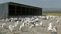 Turkeys in farm yard M HD Stock Footage