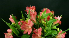 Time-lapse of opening pink peruvian lilies 1  Stock Footage