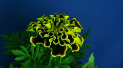 Time-lapse of growing marigold flower 1  Stock Footage