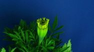 Stock Video Footage of Time-lapse of growing marigold flower 1