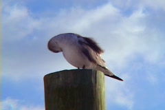 Sea Gull Water Fowl Marine Bird Grooming Cleaning on a Post Pillar Stock Footage