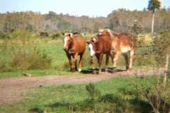 3 Three Horses Galloping Running Towards Camera Horse Stock Footage