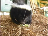 Stock Video Footage of Skunk On A Bale of Hay Eating a Cucumber