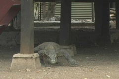 Komodo on Rinca 2 Stock Footage