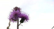Stock Video Footage of Wild artichoke against sky background