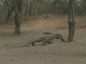 Stock Video Footage of Komodo Dragons on Rinca 7