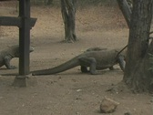 Stock Video Footage of Komodo Dragons on Rinca 6