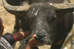 Bull Sacrificing 4 Stock Footage