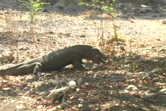 Komodo Dragon eats another Komodo Dragon Stock Footage