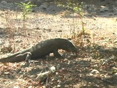Stock Video Footage of Komodo Dragon eats another Komodo Dragon