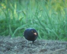 blackbird feeding - stock footage