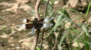 Dragonfly 01.mov Stock Footage